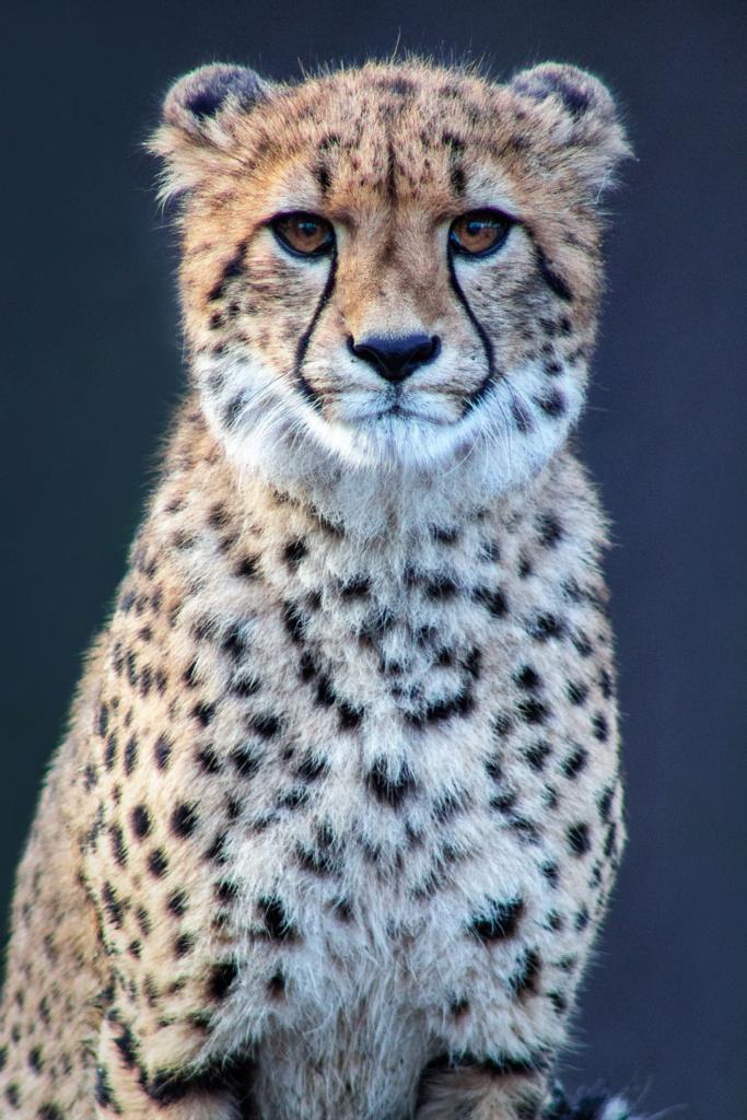 Gepard - niezwykły portret zwierząt ZOO. Magda Głogowska Portrecistka Zwierząt fotograf. Projekt Bilet roczny.2