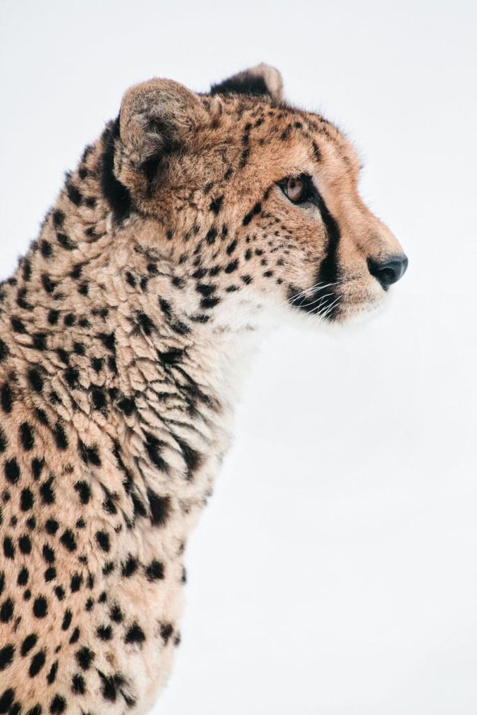 Gepard - niezwykły portret zwierząt ZOO. Magda Głogowska Portrecistka Zwierząt fotograf. Projekt Bilet roczny