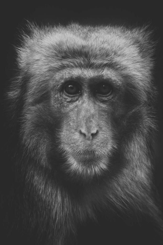 Makak japoński - niezwykły portret zwierząt ZOO. Magda Głogowska Portrecistka Zwierząt fotograf. Projekt Bilet roczny-2