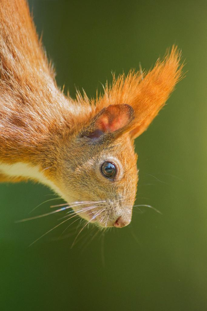 Portret wiewiórki Magda Głogowska Portrecistka Zwierząt Mieszkańcy małego lasu