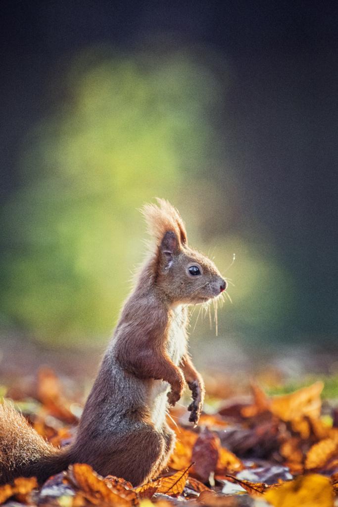 Pomysł naścianę dosalonu - wiewiórka - obraz dzikiej przyrody nazamówienie. Magda Głogowska Portrecistka Zwierząt fotograf.