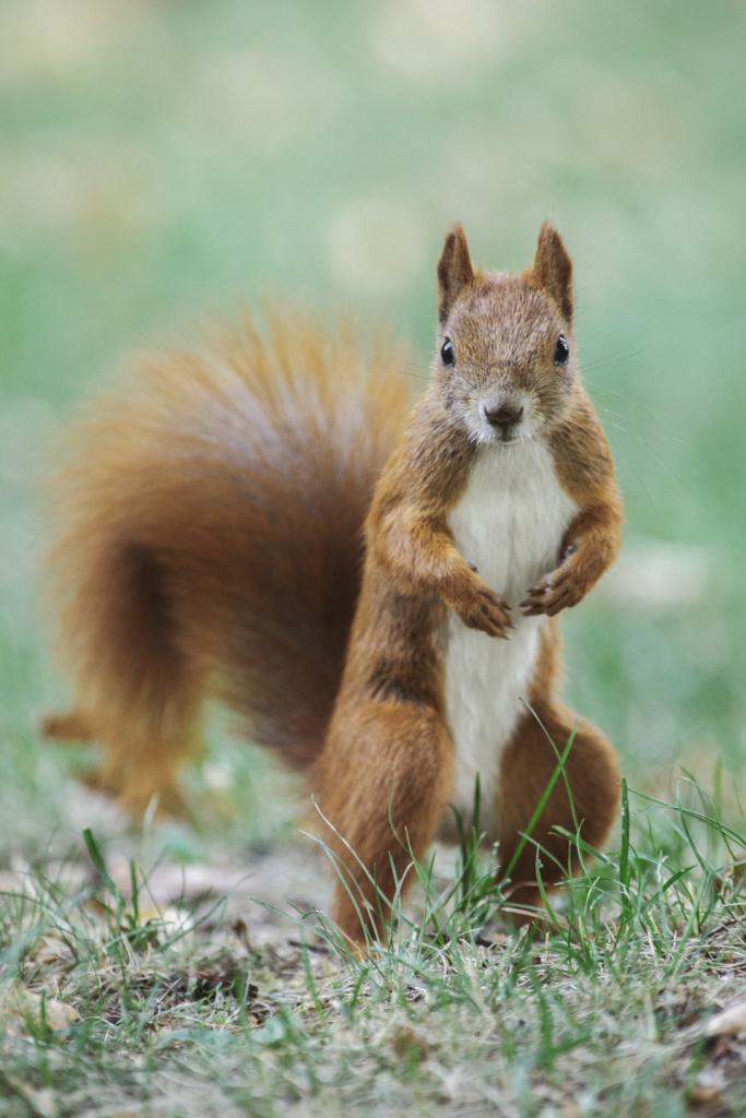Pomysł naścianę dosalonu - wiewiórka- obraz dzikiej przyrody nazamówienie. Magda Głogowska Portrecistka Zwierząt fotograf.